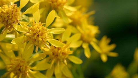Verge d'or - Solidago virgaurea L.