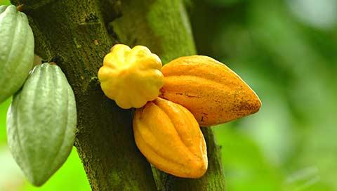 Cacao - Theobroma cacao L.
