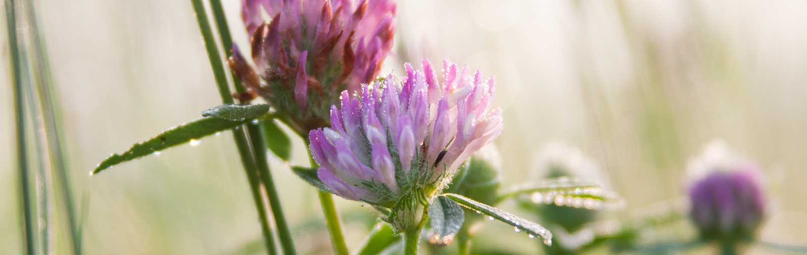 Rotklee - Trifolium pratense L.