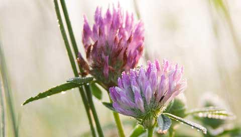 Red Clover - Trifolium pratense L.