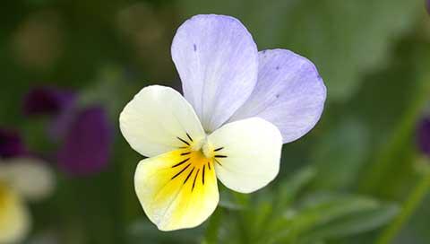 Wild Pansy (Heartsease) - Viola tricolor L.