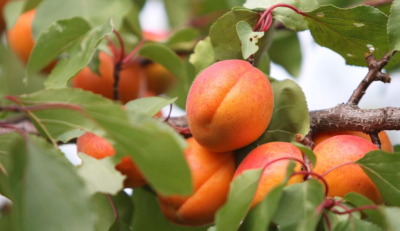 Apricot, Prunus armeniaca L., Rosaceae (Rose Family)
